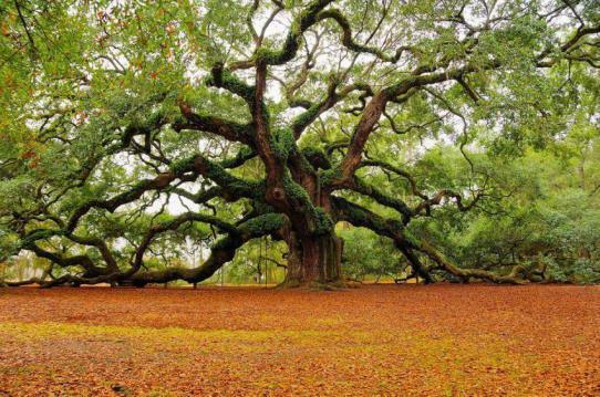 450 year old 'Angel Oak' in Charleston, South Carolina