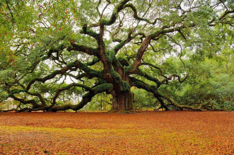 450 year old 'Angel Oak' in Charleston, South Carolina