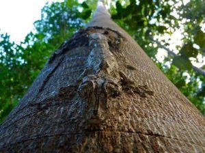 Amazing Camo for this Tree Lizard proclaims the greatness of our Creator