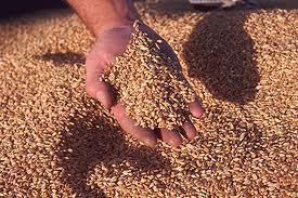 Grains after harvest