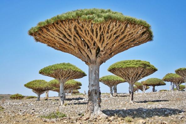 Dragon's Blood Trees in Yemen, Socotra region