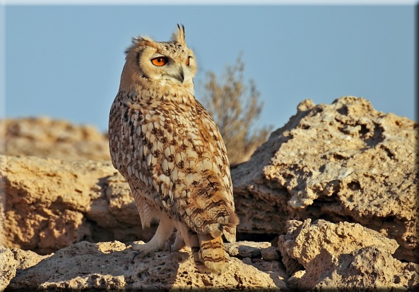 Pharoah Eagle Owl in Desert
