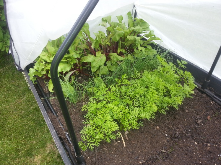 Beets, Onions and Carrots coming up in the garden