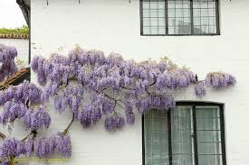 Wysteria in Flower