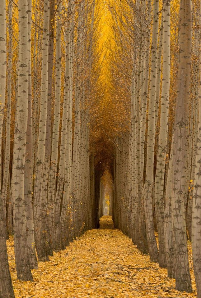 Birch Tree Cathedral